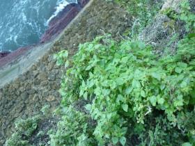 parietaria en el acantilado