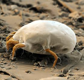 Dermatophagoides pt