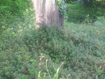 parietaria floreciendo bajo los árboles